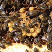 Drone brood after MAQs strips