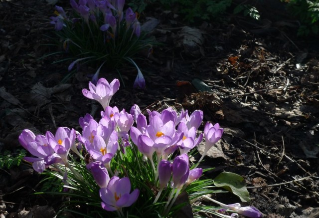 Crocus in sunlight