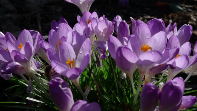 Close up crocuses