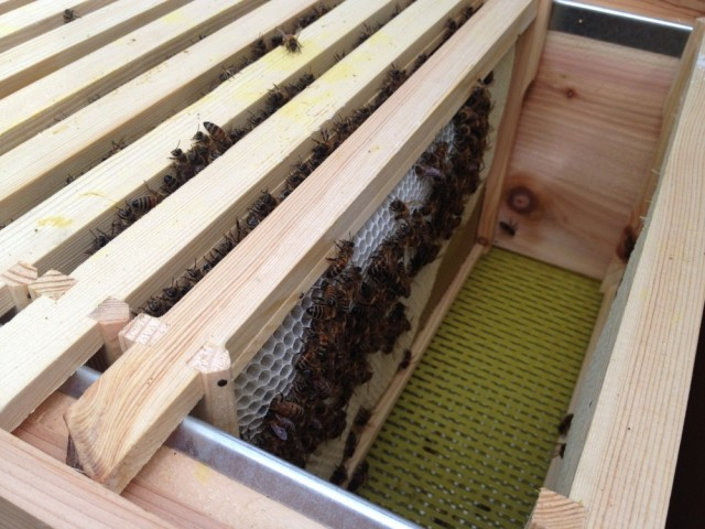 Fresh new comb in Myrtle's hive