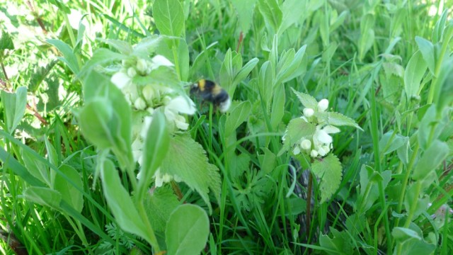 Bumble on nettles