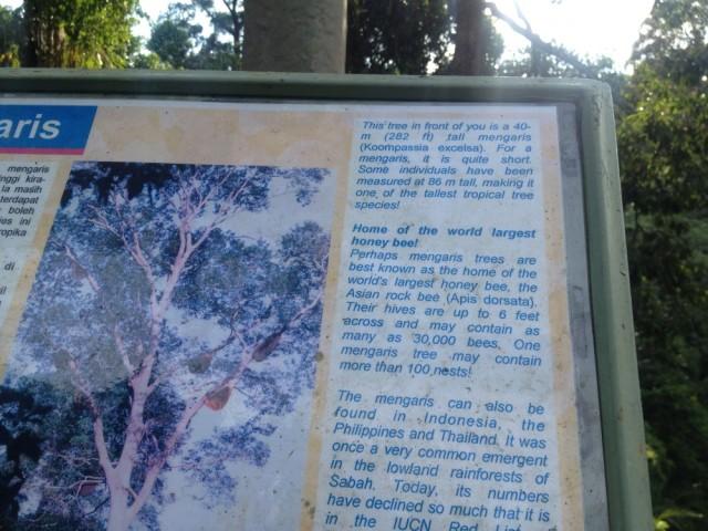 Mengaris tree info