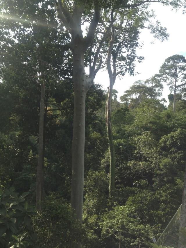 Mengaris tree footholds