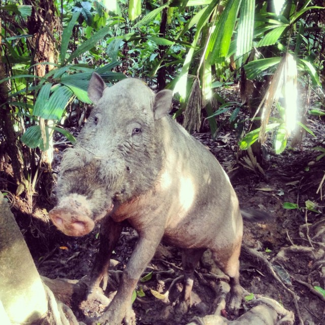 "Junior the ""wild"" boar"