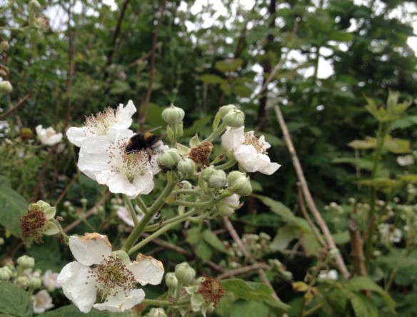 Bumble on bramble