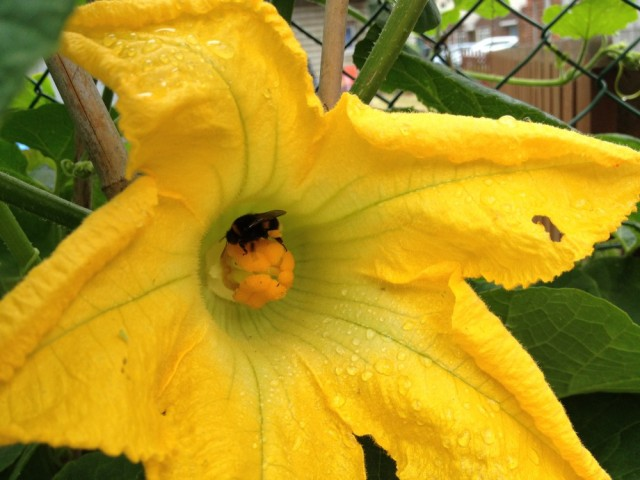Bumble in pumpkin flower