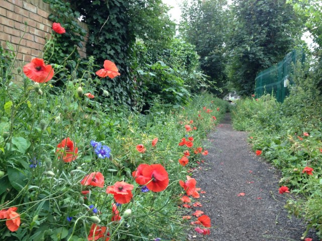 Radbourne Walk poppies