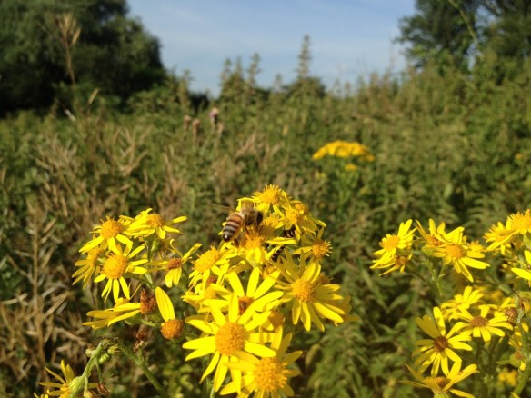 Honeybee on ragwort