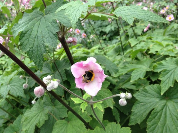 Bumblebee on Japanese anemone