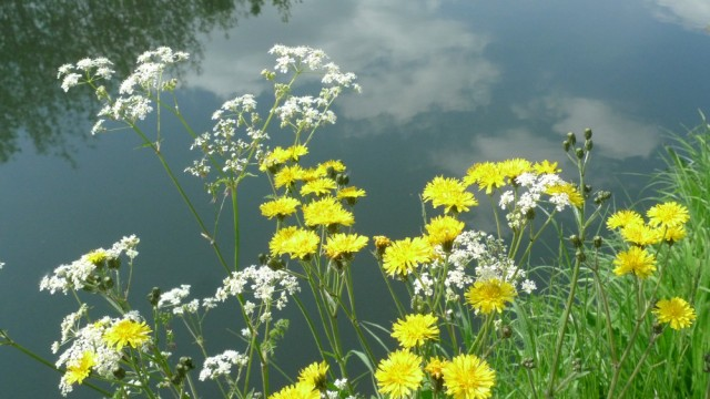 Dandelions by water