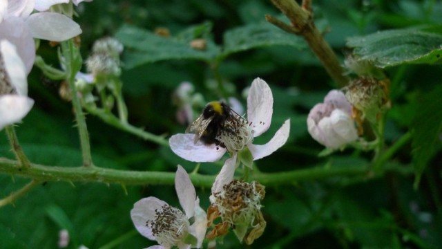 Bumblebee on bramble