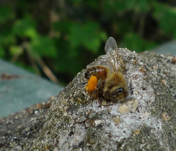 Dead bee with pollen