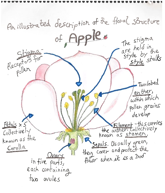 Floral structure of apple diagram