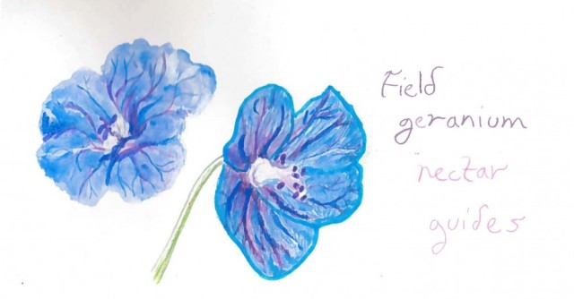 Field geranium nectar guides