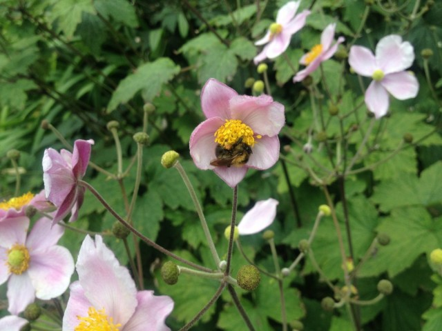 Bumble on chinese anemone
