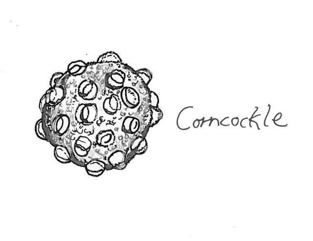 Corncockle pollen