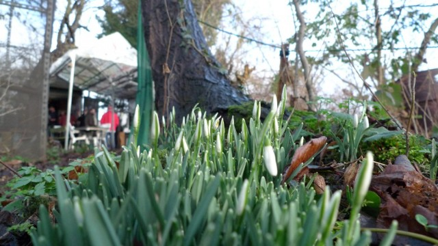 Snowdrops and tree