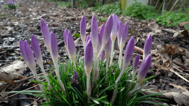 February crocuses (unopened)