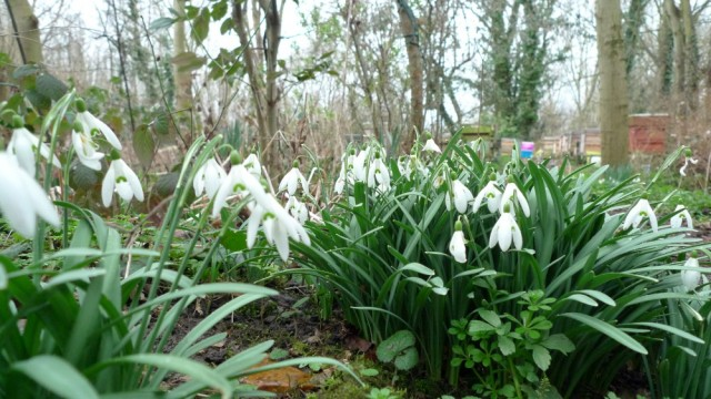 Snowdrops with hive in background