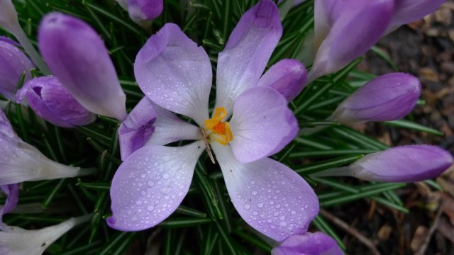 Open crocus close up