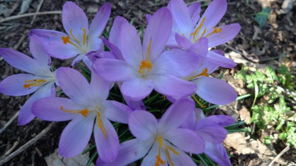 Open crocuses