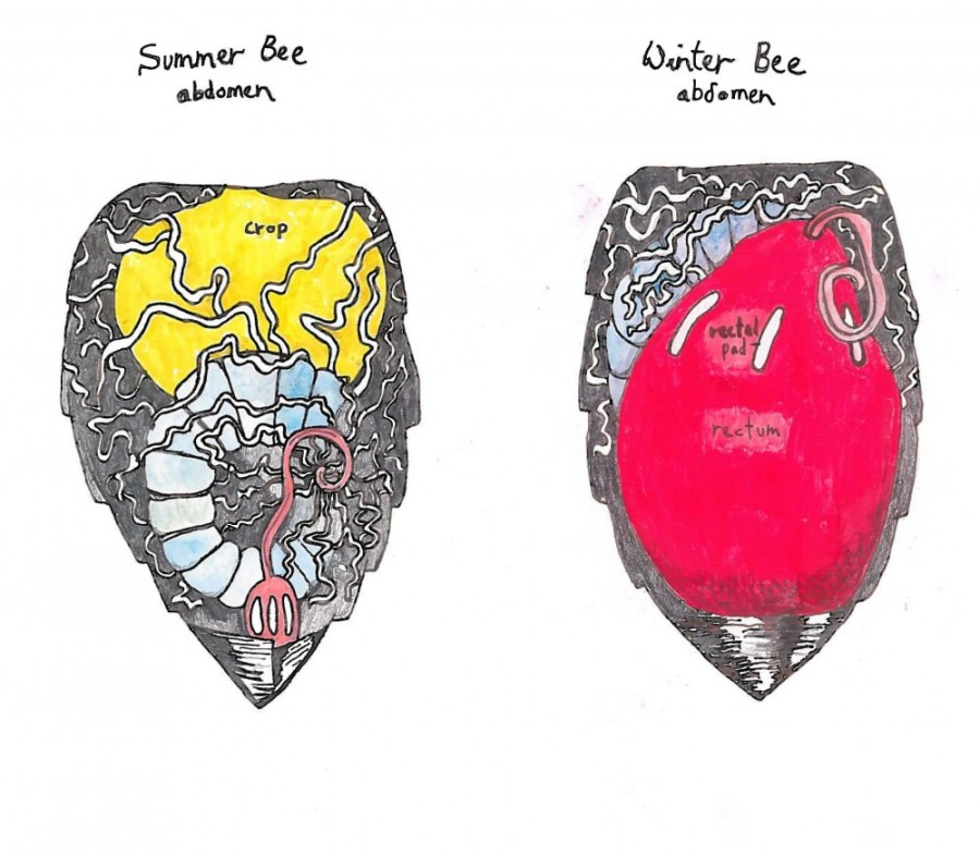 Summer bee/winter bee abdomens