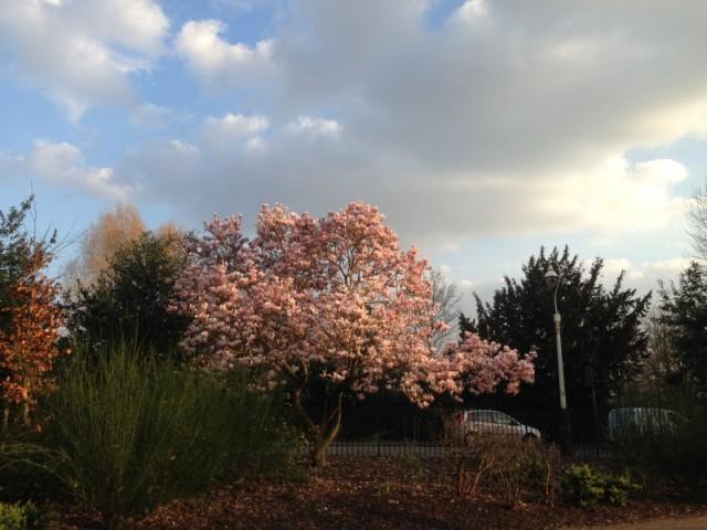Magnolia tree, Walpole park