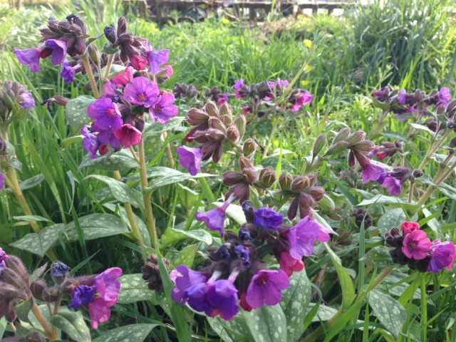 Pulmonaria, also known as Lungwort