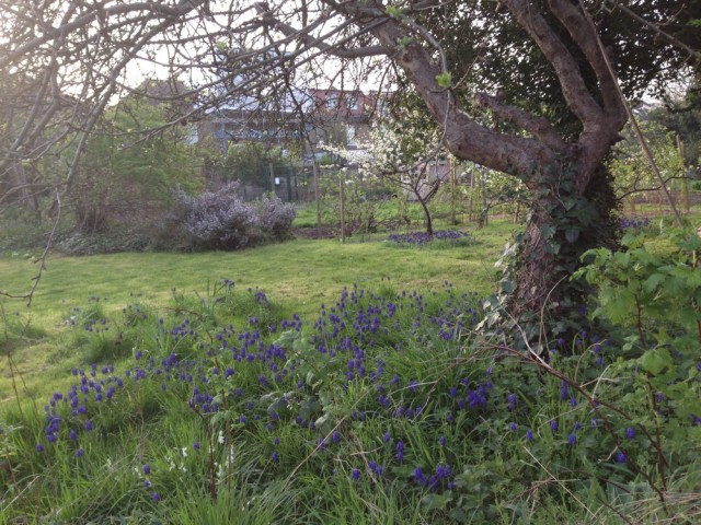Bluebells under allotment tree