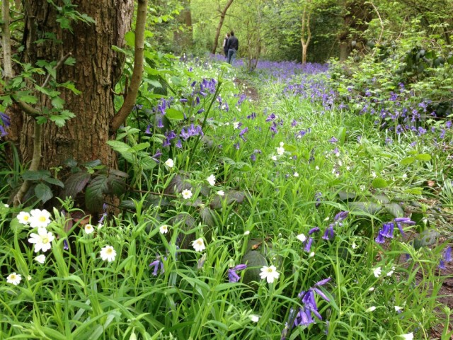 Greater stitchwort and bluebells, Perivale wood