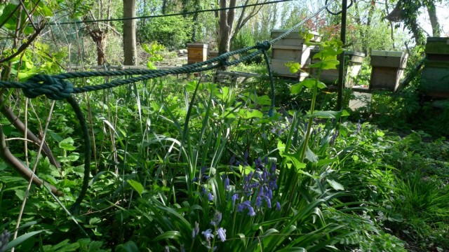 Bluebells, Ealing apiary