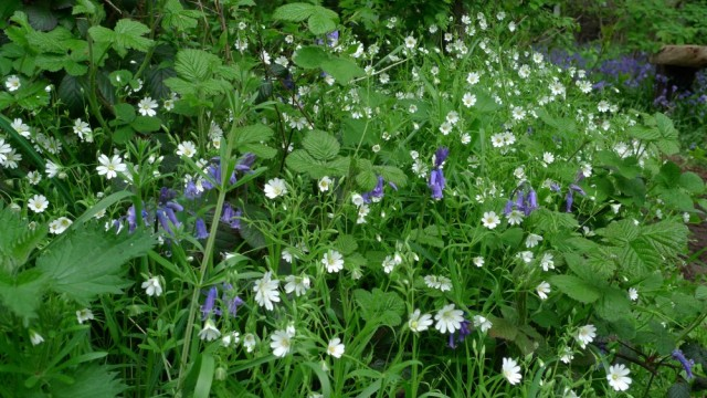 Bluebells and Greater stitchwort, Perivale wood