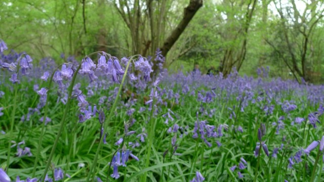 Bluebells, Perivale wood