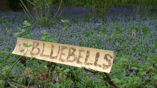 Bluebells sign, Perivale Wood