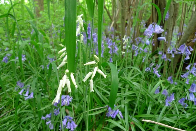White bluebells, Perivale wood