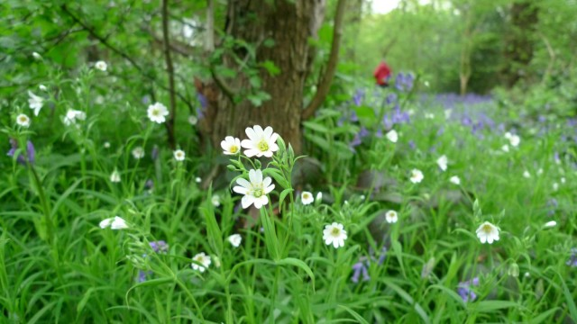 Greater stitchwort, Perivale wood