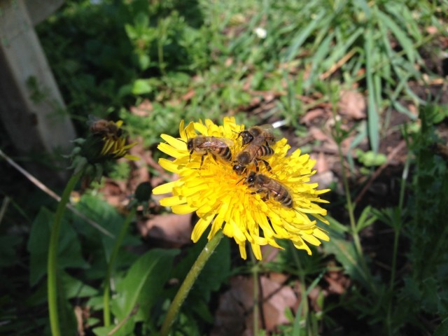 Bees on dandelion