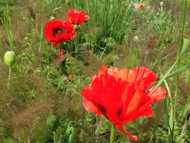 Garden poppy
