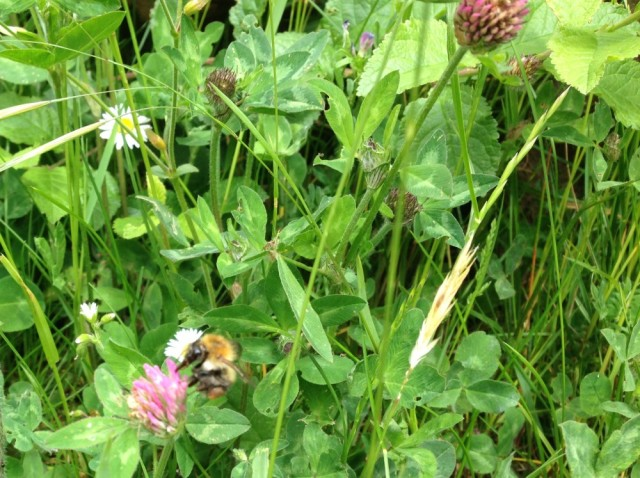 Carder bee on red clover