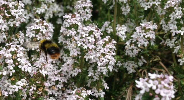 Bumblebee on thyme