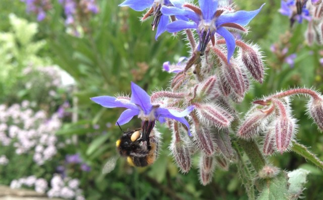 Bumblebee on borage