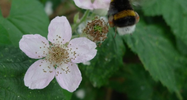 Bumble bee flying from bramble