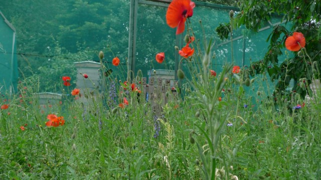 Allotment poppies