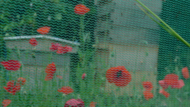 Poppies and hives