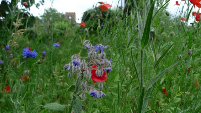 Borage and poppies