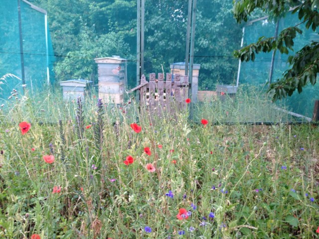 Poppies and hives at allotments