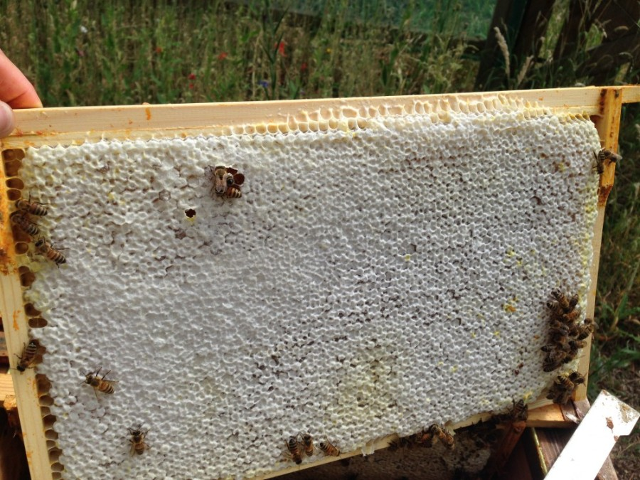 Brood frame containing honey