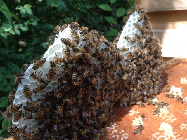Bees on natural comb
