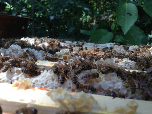 Bees on top of super