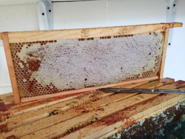 Honey frame before uncapping